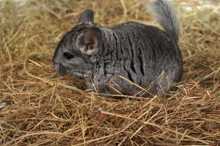 chinchilla: Grey chinchilla  lies on soft hay Stock Photo