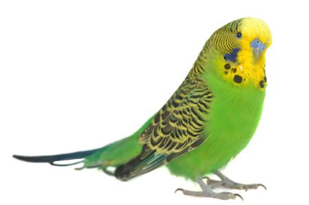 close-up portrait of  budgerigar on white