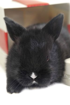 black  fluffy rabbit sits in  box for  gift photo