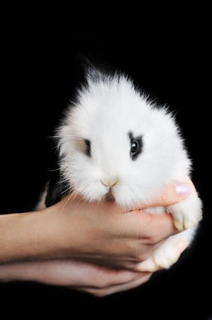 white rabbit in hands isolated on black photo