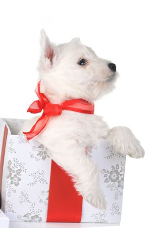 white puppy with red ribbonin gift box photo