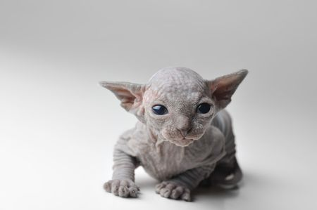 cute bald baby cat very close up photo
