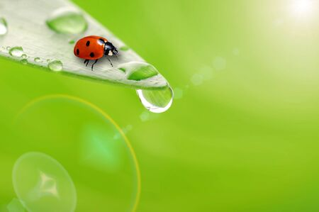 bright green leaf with ladybug and water drop  close up photo