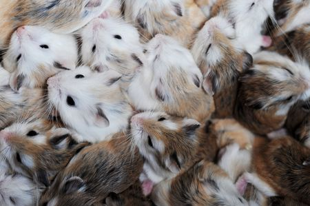 hamsters: group of sleeping small hamsters  background