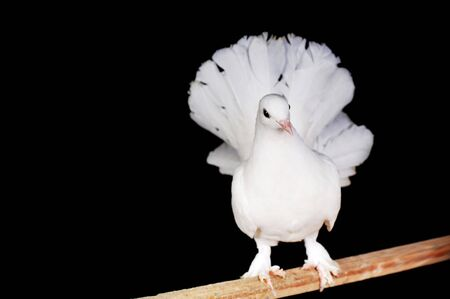 White pigeons sit on  wooden crossbeam Stock Photo - 6027819
