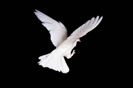 black beak: Beautiful white pigeon and female hand close up
