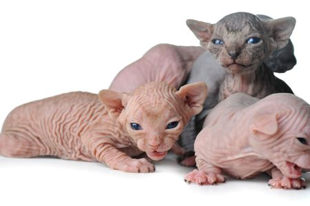 small egyptian bald cats on white background Stock Photo - 6083161