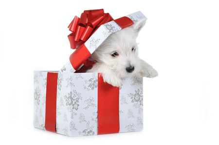 Amusing   white puppy with  red ribbon in box, portrait photo