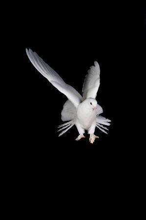 Beautiful white pigeon and female hand close up photo