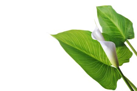 white  calla lily on green leaves close up photo