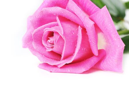 beautiful pink rose isolated close up photo