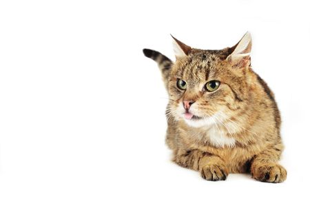 russet: cute russet   domestic cat  isolated