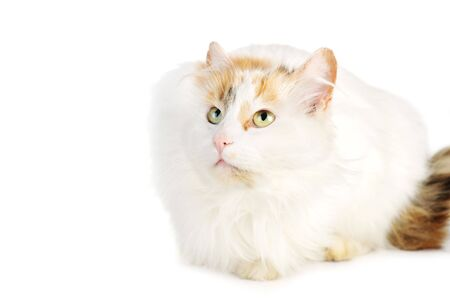 russet: white cat with russet  stains  isolated