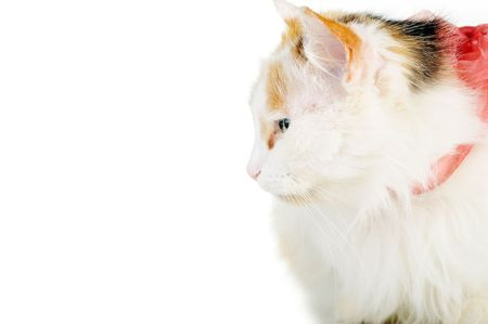 russet: white cat with russet  stains and ribbon  isolatedwhite cat with russet  stains  isolated Stock Photo