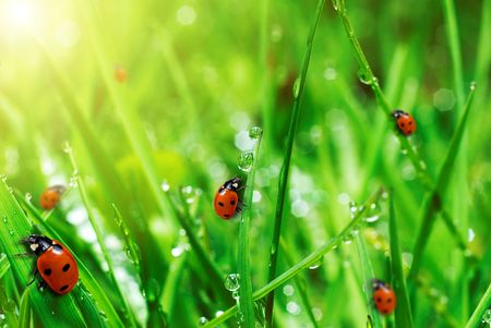 fresh green grass with water drops and ladybugs close up photo