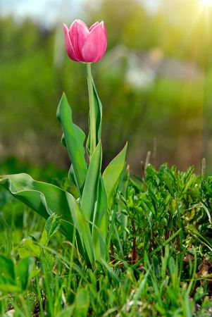 red tulip in the garden photo