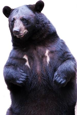 black bear: orso nero