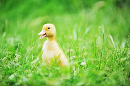 Small ducklings outdoor on green grass  photo