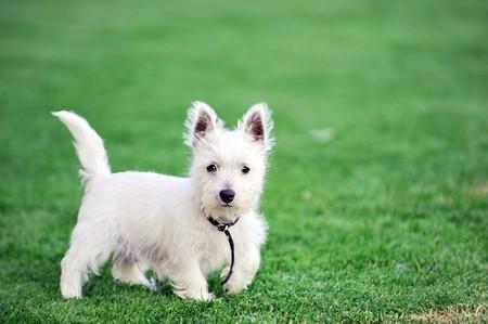 pequeño perro blanco se juega sobre césped verde
