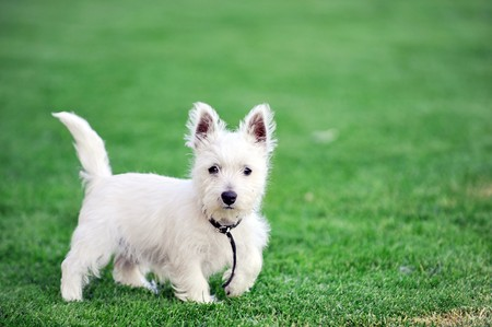 small white dog plays  on green lawn Stock Photo