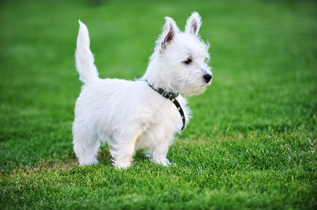 small white dog plays  on green lawn photo