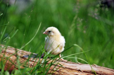 fluffy chick  on a fallen tree photo
