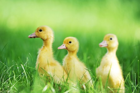 three animals: three fluffy chicks walks  in green grass Stock Photo