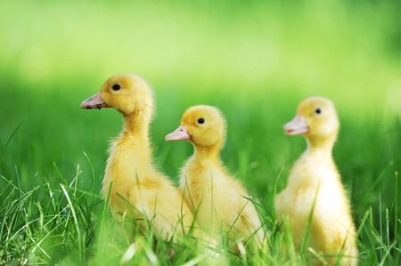 three animals: three fluffy chicks walks  in green grass Stock Photo