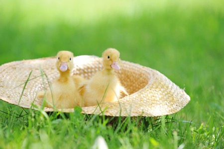 three cute fluffy  ducklings sitting in straw hat photo
