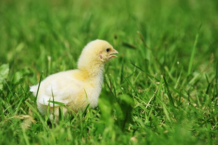 4 days old  chick  exploring green grass photo