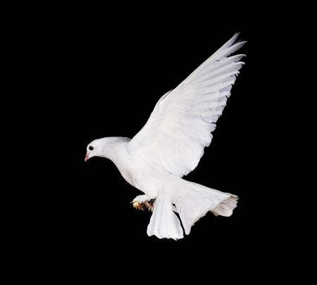 Beautiful white pigeon and female hand close up photo