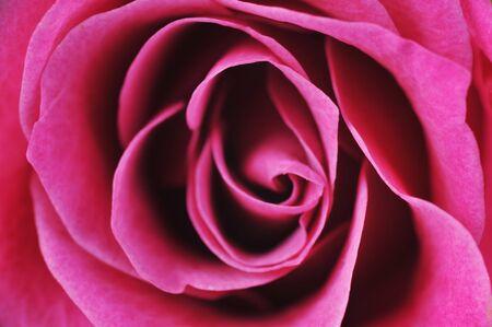 pink rose  close up macro photo