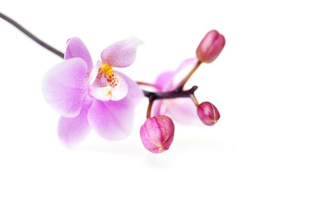 Flowers of  beautiful orchid  isolated photo