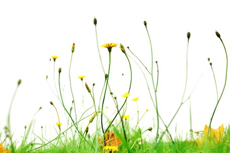 countryside background: yellow flowers in park isolated on white