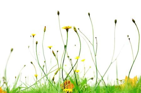 公园里的黄花孤立在白花上