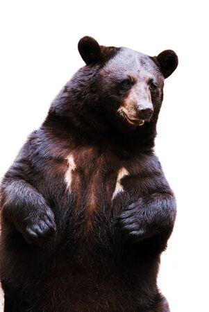 black bear Stock Photo - 8178414