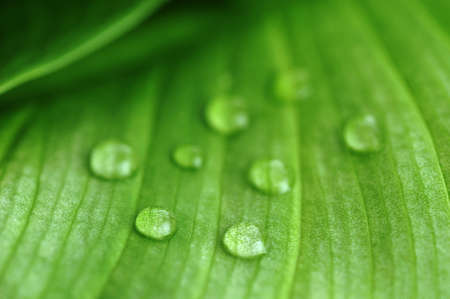 bright green leaf and water drop  close up Stock Photo - 8178448
