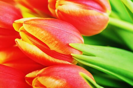bouquet of many red tulips photo