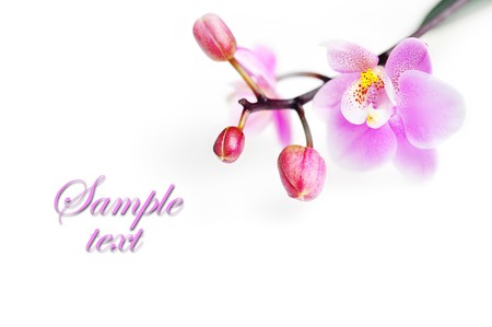 Flowers of  beautiful orchid  isolated Stock Photo - 8282765