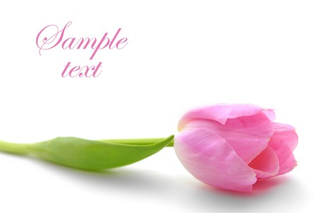 pink tulip isolated on white background photo