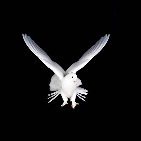 Beautiful white pigeon and female hand close up Stock Photo - 8371852