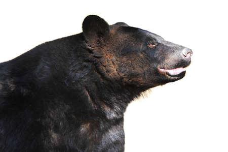black bear at  zoo. summer season. photo
