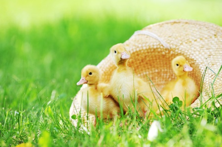Small ducklings outdoor on green grass Stock Photo - 8614425