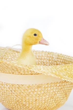 lindo patito esponjoso en aislados de sombrero de paja Foto de archivo - 8610070