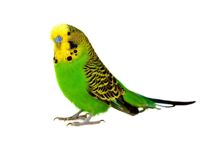 close-up portrait of  budgerigar on white Stock Photo - 8653991