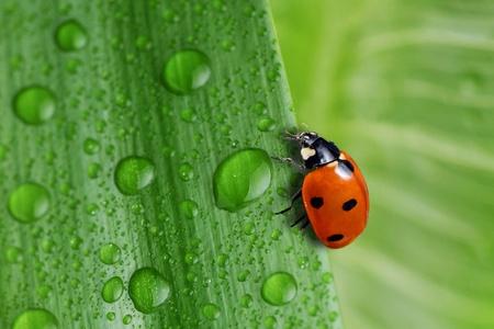 mariquitas: agua y hoja verde brillante colocar cerca de