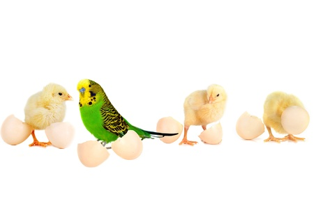 three little cute fluffy  chickens  and  budgerigar  with  shell of eggs