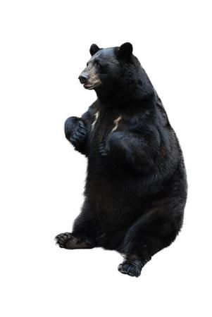 oso: el oso negro aislado en blanco Foto de archivo