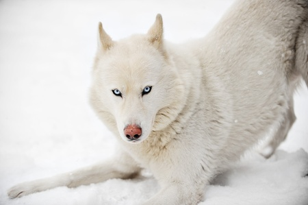 siberian husky: White husky