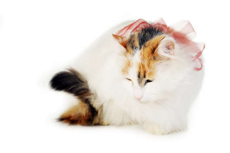 russet: white cat with russet  stains and ribbon  isolated